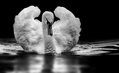 Schwanensee (ellen-ow) Tags: see teich wasser wirbeltiere tier schwan hckerschwan vogel bird blackandwhite schwarzweis nikond4 ellenow