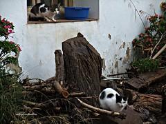 Libertad en zona rural.042 (adioslunitaadios) Tags: gatos mascotas campo rustico gatocomn fujifilm