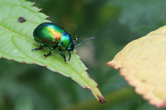 Tansy Beetles-5905 (Markpkn) Tags: beetle tansybeetle tansy york chrysolinagraminis chrysolina macro