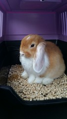 IMG-20160803-WA0001 (jlfaurie) Tags: bambam lapi rabbit bunny conejo animal familier family member pet compania
