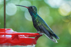 [247/366] broad billed hummingbird (marianneleis) Tags: 366the2016edition 3662016 day247366 3sep16
