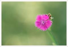 Fiore 207 (Outlaw Pete 65) Tags: macro closeup fiore flower natura nature colori colours luce light nikond600 sigma105mm collebeato lombardia italia