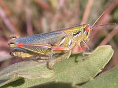 Hesperotettix viridis pratensis, female (tigerbeatlefreak) Tags: insect grasshopper orthoptera acrididae nebraska hesperotettix viridis pratensis