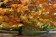 Autumn Orange (CVerwaal) Tags: autumn centralpark trees newyork ny usa sonyrx100iii