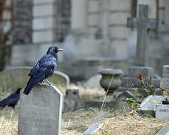 Crow and red flower, Brompton Cemetery, London (Richard Wintle) Tags: london uk brompton cemetery crow corvid bird grave gravetone headstone england graveyard flower