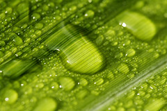 Morning Dew 2 (chrissmith93) Tags: green macro plant nature morningdew