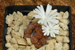 2 octobre 2016 - Conophytum pellucidum 'Argent' TS460 (Mafate79) Tags: 2016 conophytumpellucidumargent conophytumpellucidum argent ts460 conophytum aizoaceae aizoaces aizoace mesemb mesembryanthemaceae mesembryanthemaces mesembryanthemace plante fleur sectionpellucida elk