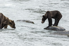 Grizzly cub watching Mom fish (Alan Vernon.) Tags: brown bear coastal alaskan grizzly ursus arctos horribilis mature female sow mother cub young immature fishing hunting food nature wildlife wild mammal american bears omnivore predator shore alaska