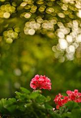 the last flowers of geranium... (clo dallas) Tags: flowers geranium geranio fiori pink bokeh dof luce profonditdicampo light autunno autumn canon helios402 leaves fogliame