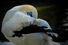 Do not disturb ... I dream of the weekend:-) (Saarblitz) Tags: wochenende träumen basstölpel vogel pose posing porträt sonne licht tier