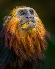 DSC_1313-Edit-1 (craigchaddock) Tags: zoe goldenheadedliontamarin leontopithecuschrysomelas parkeraviary sandiegozoo endangeredspecies newworldmonkey monkey tamarin goldenheadedtamarin