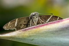 Teleus Longtail on Bird of Paradise (PriscillaBurcher) Tags: l1200227