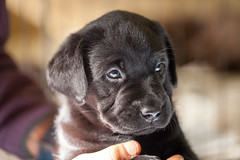 Black Lab Puppy (Jack Landau) Tags: black labrador retriever puppy dog pet canine