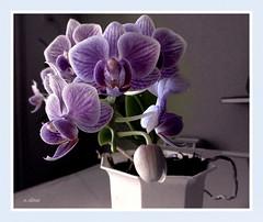 Orqudeas lils. (o.dirce) Tags: orqudea lils flower planta vegetao odirce vaso riodejaneiro orqudeas