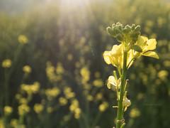Amarillitas a full [Explored] (Letua) Tags: amarillo bokeh flor flower green naturaleza nature silvestre verde yellow