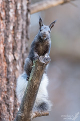 Hello, who are you? (Squirrel Girl cbk) Tags: 2016 abertsquirrel manzanomountains newmexico october sciurusaberti estancia unitedstates us