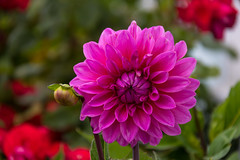 Dahlia (Infomastern) Tags: ystad blomma flower