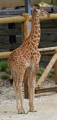 Baby Giraffe (praja38) Tags: life park baby paris france nature animal animals neck mammal europe european wildlife young horns humour spots tall giraffe capricorn pariszoo hooves kordofangiraffe pariszoologicalpark