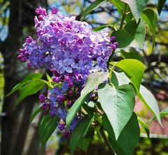 Lilac Spring (MissyPenny) Tags: pink flowers blue spring flora perfume violet lavender lilac buckscounty lilacs southeasternpa bristolpennsylvania pdlaich