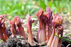 (sr) Tags: macro nature nikon dof bleedingheart groundlevel whimsical plantbulbs