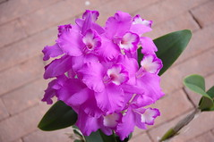 Guarianthe skinneri Fcc Aos (douneika) Tags: orchid fcc orchidaceae orquidea orchidee aos orchidea skinneri guarianthe