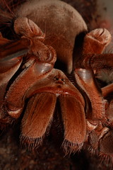 "Theraphosa stirmi closeup • <a style=""font-size:0.8em;"" href=""http://www.flickr.com/photos/77637771@N06/17390782476/"" target=""_blank"">View on Flickr</a>"