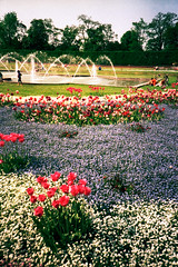 nordpark (somekeepsakes) Tags: park film analog germany deutschland spring lomo lca europa europe tulip analogue düsseldorf frühling tulpe nordpark 2011 lomographycn100