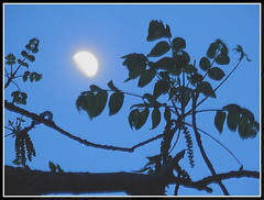 Moon Shot May 27, 2015 - Photo by STEVEN CHATEAUNEUF - Extra Sharpness Was Added With Using Picasa 3 Editing (snc145) Tags: sky moon tree nature leaves silhouette night fun evening photo spring glow seasons dusk fineart foliage nighttime hazy soe moonshot treebranch autofocus thisphotorocks mostbeautifulpicturesmbp flickrunitedaward stevenchateauneuf may272015
