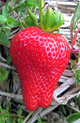 Strawberry season is here! (Swallowtail Garden Seeds) Tags: red macro fruit spring yummy strawberry berry strawberries seeds delicious santarosa fragaria fragariaananassa strawberryseason swallowtailgardenseeds