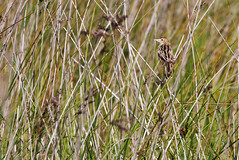 _MGL6618 Cistussanger - Zitting Cisticola - Cisticola juncidis (I appreciate all the faves and visits many thanks) Tags: greece lesbos warblers grækenland sangere canoneos5dmarkiii solveigøsterøschrøder cistussangerzittingcisticolacisticolajuncidis lesveos skalakallonipool