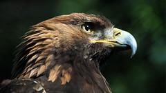 Stone Eagle (neya25) Tags: portrait bird stone eagle bokeh steinadler vogel schrfentiefe mzuiko75300mm olympusomdem10