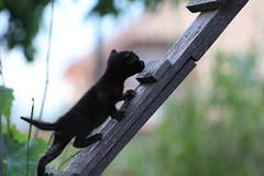 Made it! (dzepni_oktavo) Tags: pet black cute beautiful animal cat skinny small kittens climbing mew