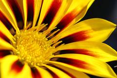 Intensity (Beads N Resin) Tags: red black flower macro nature yellow closeup flora stamen waterdrops africandaisy stigma osteospermum tigerpattern romina01 rom01 romina