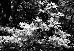 _Leaves in their Prime_DSC06754 (Ian Gearing) Tags: park uk trees england west nature woodland arboretum gloucestershire westonbirt trust glos