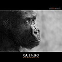 QUEMBO (Matthias Besant) Tags: animal animals mammal deutschland zoo monkey tiere jung child hessen gorilla kind ape monkeys mammals apes fell tier junge affen primates affe primat hominidae primaten zoofrankfurt querformat saeugetier saeugetiere menschenaffen hominoidea trockennasenaffe menschenartige affenfell menschenartig affenblick matthiasbesant