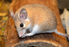 African Mouse (Tony Worrall Foto) Tags: county uk england cute mouse mammal stream tour open place northwest unitedkingdom african small country north visit location lancashire area lancaster northern update attraction lancs welovethenorth