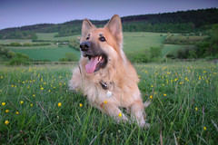 Lola at Pewley Down (juanmartinez81) Tags: dog pet pets dogs surrey guildford germanshepherd alsatian gsd germanshepherddog pewley pewleydown