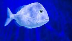Swimming in the Deep Blue Sea! (ken.krach (kjkmep)) Tags: fish