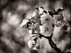 Flora (w.mekwi photography) Tags: flower floral spring bokeh monochromatic nikond800 wmekwiphotography hmbt