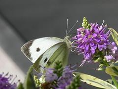 P1030058 (Clive Webber) Tags: largewhite pieridae pierisbrassicae