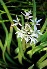 Ramslg / Wild garlic (mikkelfrimerrasmussen) Tags: flowers wild white green copenhagen garden onions have garlic kbenhavn ramslg vildehvidlg