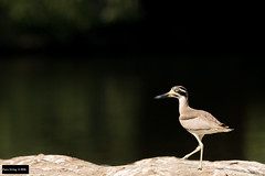 Great Thick-knee (Esacus recurvirostris) (Dave 2x) Tags: india stone great knee mysore thick southindia curlew wader stonecurlew nearthreatened greatthickknee esacusrecurvirostris esacus recurvirostris