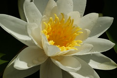 WATER LILY 1 (lowe_steff) Tags: flower water garden pond lily waterlillies