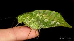 Phaneropteridae (Ecuador Megadiverso) Tags: book flickr grasshopper katydid leafmimickingkatydid loscedros orthoptera phaneropteridae tettigoniidae andreaskay ecuador