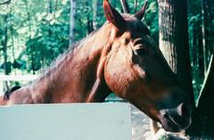 IMG_50 (Ser_J) Tags: photography photographer photo photofilm film film35mm 135 35film 35mm analog animal horse light summer canon kodak day nature
