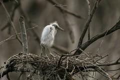 Pichn de Garza de Risos (Juan Alberto Taveras) Tags: rd republicadominicana laazufrada ladescubierta medioambiente aves conservacion lagoenriquillo islacabritos querebebe