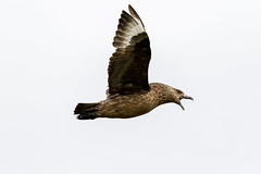 Great skua (Marvandae) Tags: vogel ijsland iceland skua grote jager