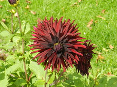 Dahlia, Inverewe Gardens, Wester Ross, August 2016, Explored (allanmaciver) Tags: dahlia wester ross west coast inverewe gardens national trust scotland highland maroon colours allanmaciver