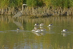 Great Blue Heron - American Avocets (fred h) Tags: bearriver932016348 american avocets americanavocet