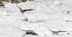 A Juvenile Raptor in Bangalore (Anoop Negi) Tags: bangalore juvenile brahminy kite pollution water bellandur lake karnataka now foam toxic politics anoop negi ezee123 photo photography